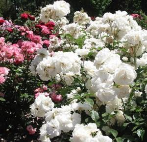 Парковая роза во всей красе