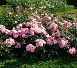 Размножение парковых роз