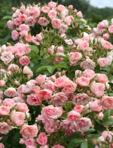 Роза парковая Пинк Гротендорст