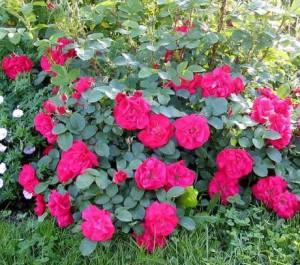 Следим за здоровьем розы