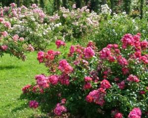 Выращивание парковых роз