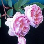 Chambre rose reine