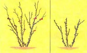 Легкая обрезка ремонтантных роз
