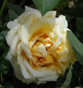 Роза Канне Фестиваль