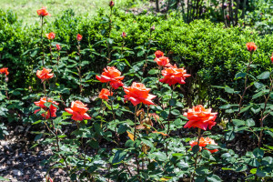 Роза Огни Ялты