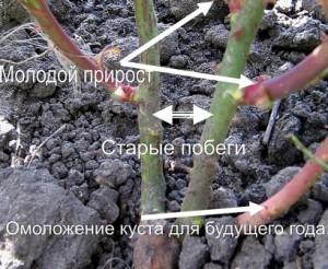 Ветви чайно-гибридных роз