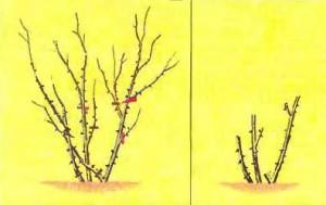 Умеренная обрезка ремонтантных роз