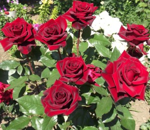 Внекорневые подкормки роз для повышения зимостойкости