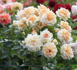 Пышноцветущая роза флорибунда