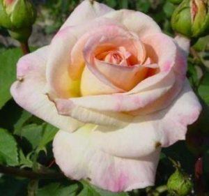 Роза флорибунда Гэлакси