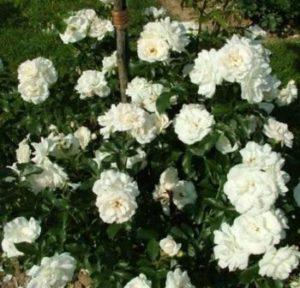 Роза флорибунда Карт Бланш