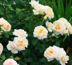 Роза флорибунда Лайонс Роуз