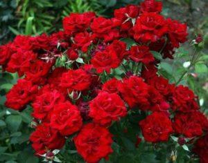Роза флорибунда Никкола Поганини