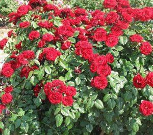 Роза садовой группы флорибунда