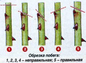 Обрезка флорибунды