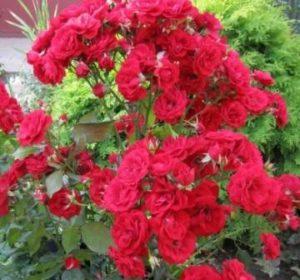 Роза флорибунда Европеан