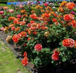 Выращивание флорибунды